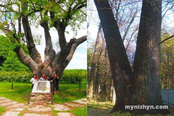мапа, дерева, найстаріші