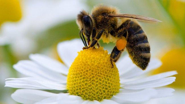 Чи винувата оленка волохата що бджоли гинуть?