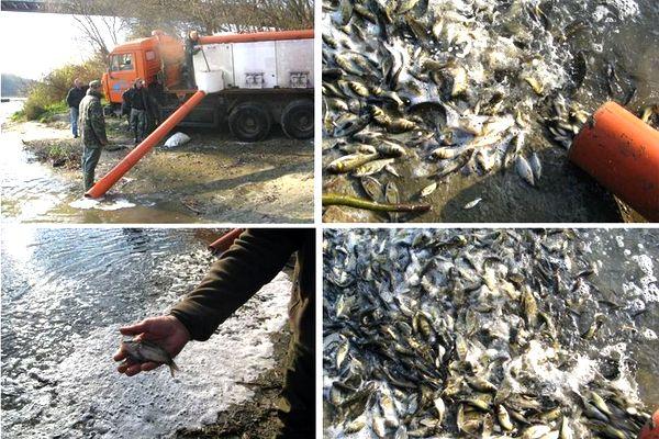зариблення річки, Десна, риба
