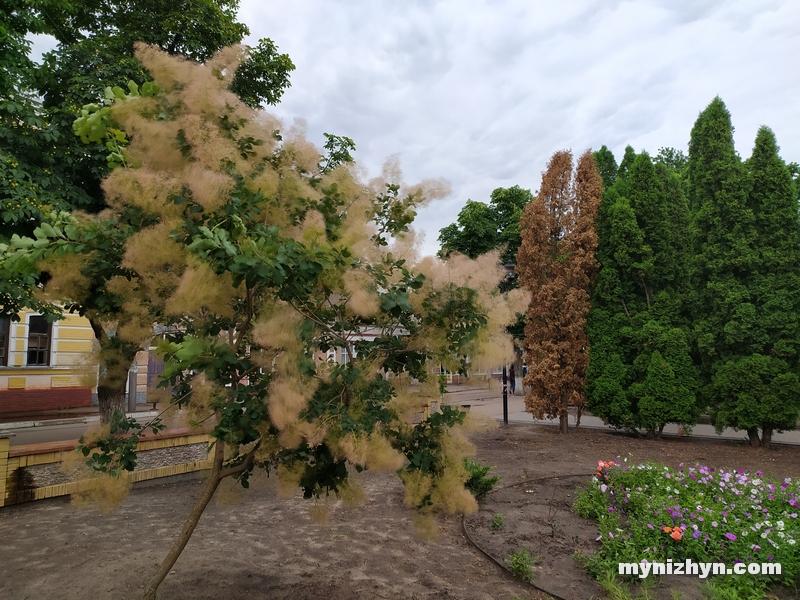 сквер Лисянського, скумпія