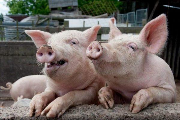 Свині, чума, Куликівський район