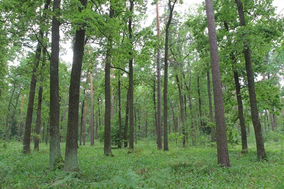лісівники, насіння, шишки, заліснення
