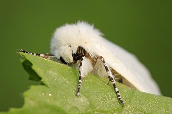 У двох селах Франківщини наклали карантин, поки знищували американського білого метелика