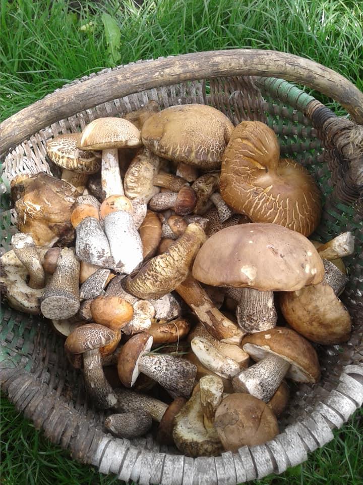 ліси, перші гриби, Ніжинщина