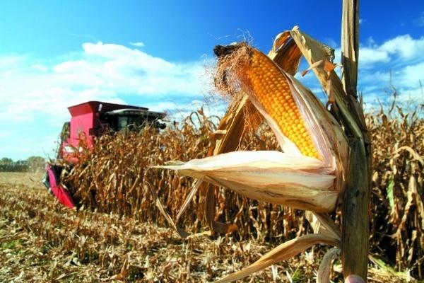 поле, кукурудза, труп