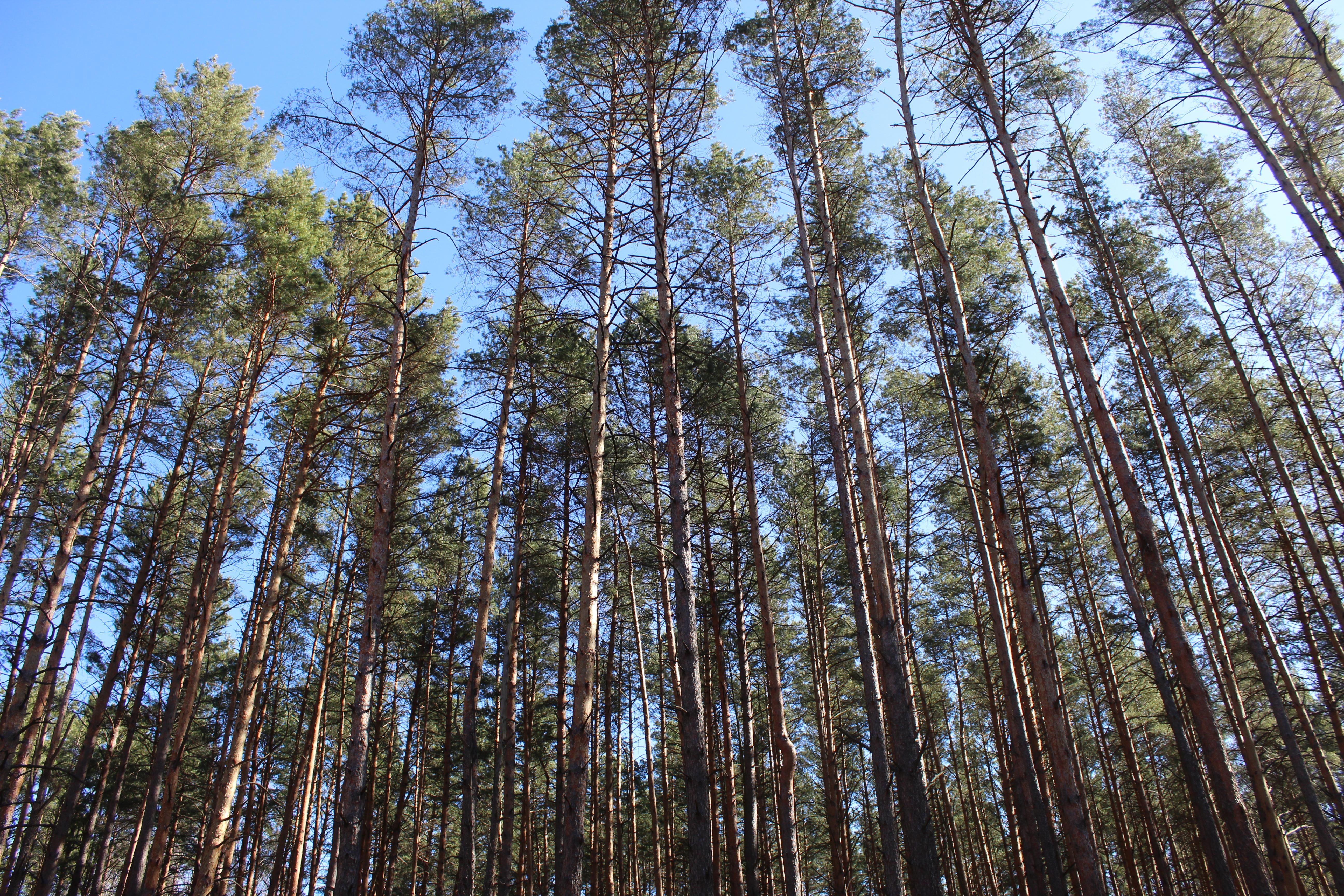 Ніжинський лісгосп, ліс, висадка